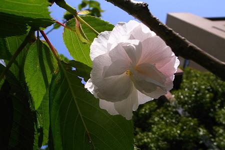 穹と葉と櫻