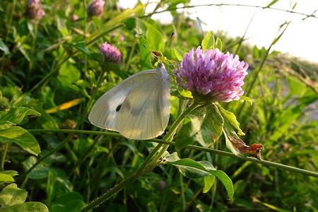 下がる白蝶