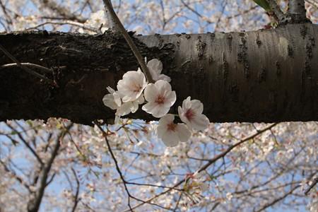 福岡堰の桜