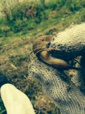 土手の野ネズミ