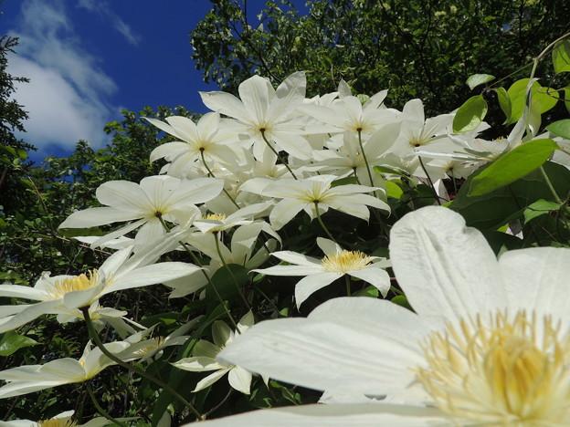 庭の白花-1