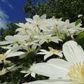 Photos: 庭の白花-1