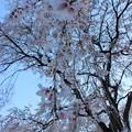 写真: 枝垂桜