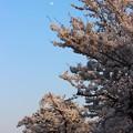 写真: 月見に花見