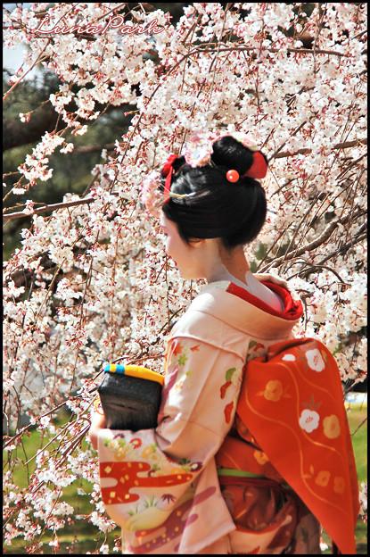 桜の下の舞妓さん