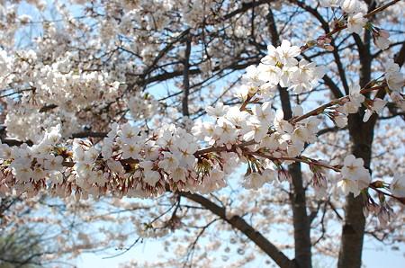 Spypondの桜満開