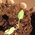 トマトの長男いっくんです。頑張って育つんだぞー!