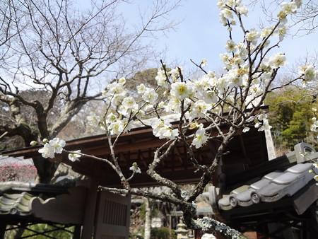 鎌倉の梅02