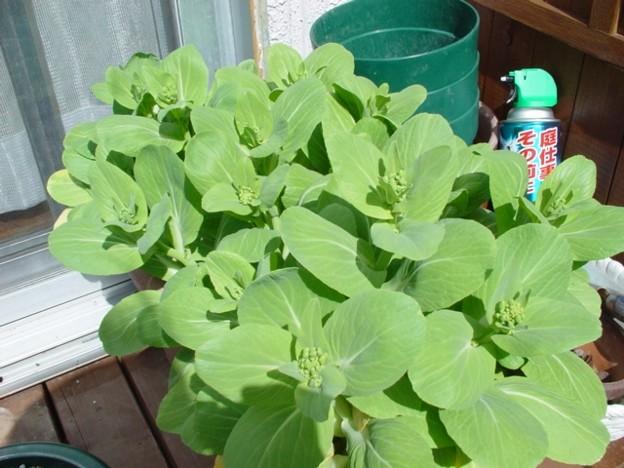 チンゲンサイの花1