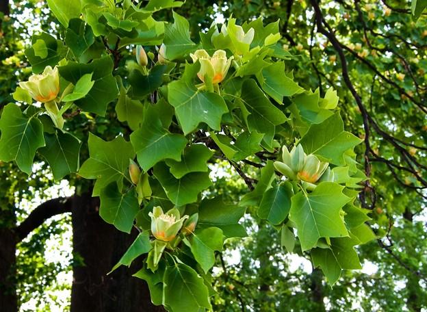 P5097980s百合の木の花2