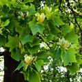 Photos: P5097980s百合の木の花2