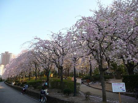 090409-川口の桜
