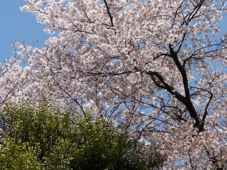 090409-野毛山動物園の桜 (4)