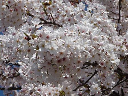 090409-MM21 汽車道と桜 (8)