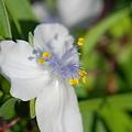 白花ムラサキツユクサ