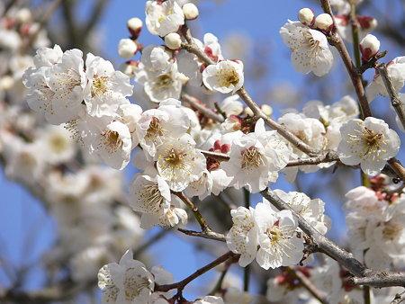 梅の花 白