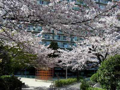 090410 164団地桜