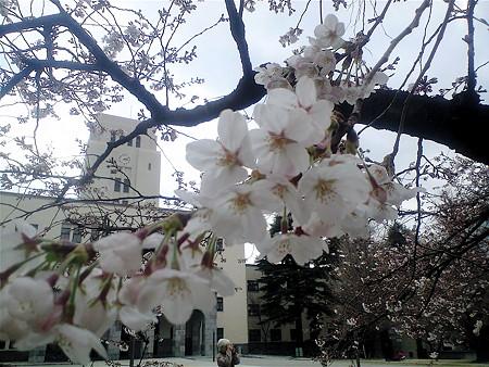 東工大 桜