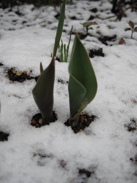 IMG_1714-雪の中の芽