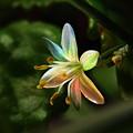 Photos: 稀な珍しい花