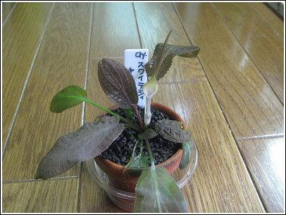 スワイテシィ・ヤーラ産090414_03