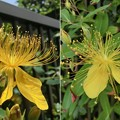 Photos: キンシバイと同時期に咲き始めます:ビヨウヤナギ