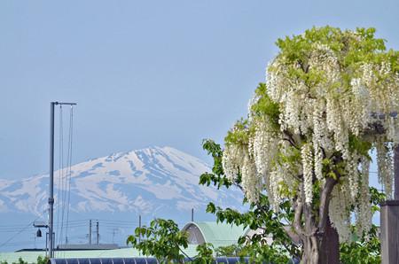 1405鳥海山と藤01
