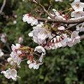 Photos: 斐川金比羅神社の桜