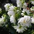 オダマキ ホワイトバロー