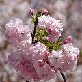 Photos: 桜のブーケ♪
