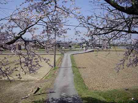 塩の桜2s