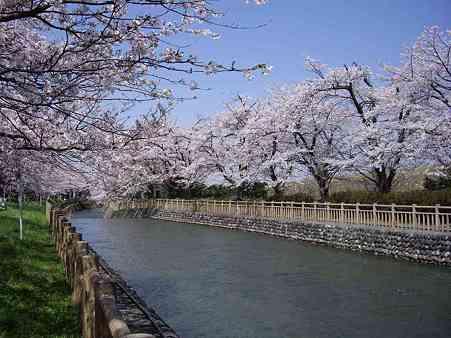 殿様林の桜s
