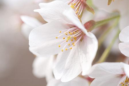 桜の花 その2