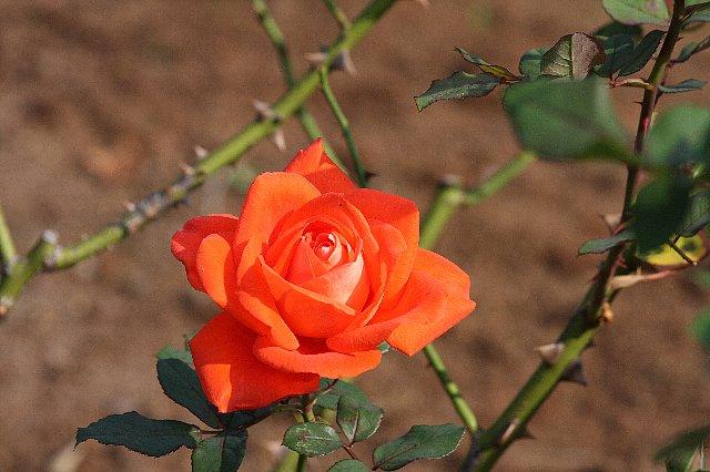 2008.11.18 港が見える丘公園 赤色の薔薇