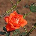 Photos: 2008.11.18 港が見える丘公園 赤色の薔薇