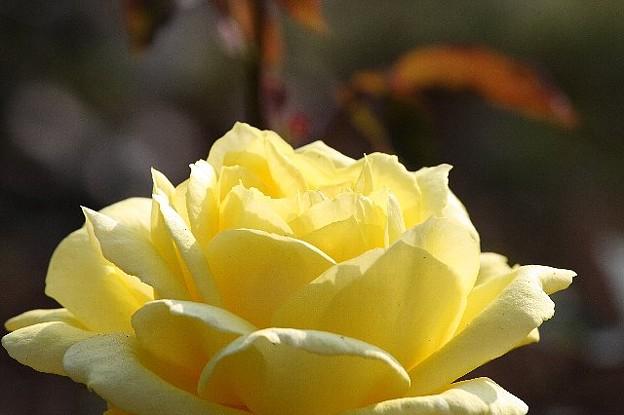Photos: 2008.11.18 港が見える丘公園 黄色の薔薇
