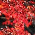 Photos: 2008.12.06 こども自然公園 紅葉-5