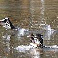 Photos: 2008.12.06 こども自然公園 キンクロハジロ 飛翔