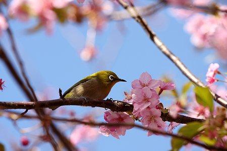 2009.02.21 松田山ハーブガーデン 河津桜にメジロ 5