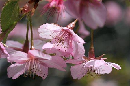 2009.02.28 笠森観音 河津桜