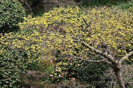 2009.03.07 報国寺 山茱萸の木