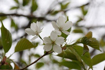 2009.03.28 山桜