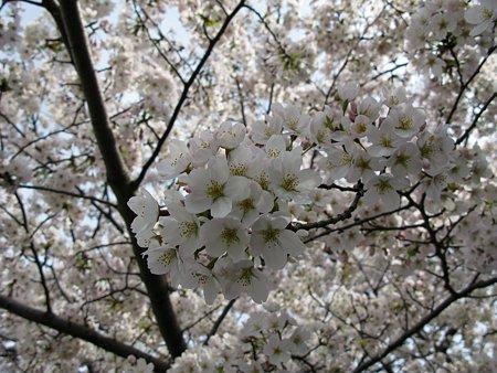 2009.04.04 さくら咲く