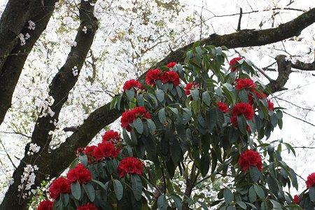 2009.04.07 小田原城 石楠花
