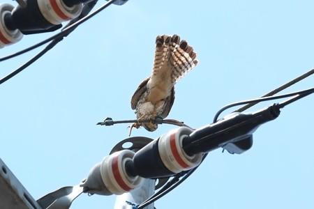 2014.04.28 追分市民の森 電柱でチョウゲンボウ 左足にトカゲ