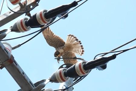 2014.04.28 追分市民の森 電柱でチョウゲンボウ 鷲掴み
