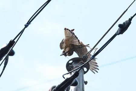 2014.04.28 追分市民の森 電柱の天辺でチョウゲンボウ