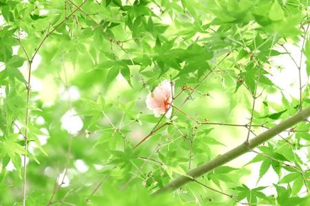 2014.04.29 和泉川 ヤエザクラ