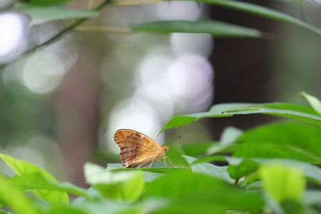 2014.06.09 瀬谷市民の森 メスグロヒョウモン