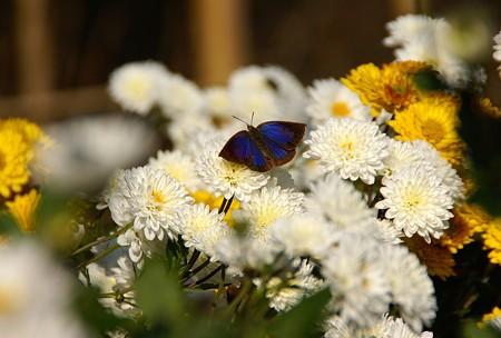 瑠璃色の蝶と・・白菊・・